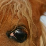Researchers assess internal eye pressure in endurance horses