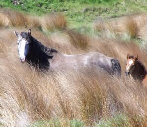A wild mare and foal on the Kaimanawa ranges.