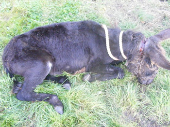The young female donkey was in an advanced state of suffering.