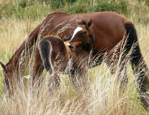 A wild Kaimanawa mare and foal, photographed last month.