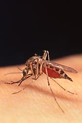 Mosquitoes like this female Aedes (Ochlerotatus) sp.,