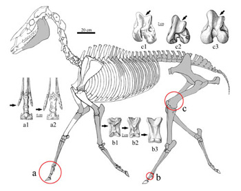 Zanda horse skeleton.