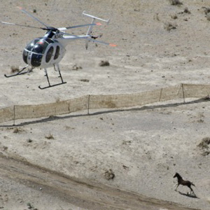 A horse being driven by helicopter during the Jackson roundup.