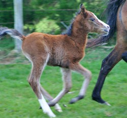 NZ wild horse study reveals how to breed for a filly