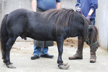 Neeps, one of the shetland ponies at the centre of the Aberdeenshire welfare case.