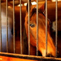 Horse soring is a serious problem in the Tennessee walking horse industry.