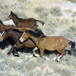 Federal land managers call off Nevada wild horse muster