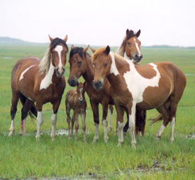 A band of horses in the saltmarsh at Assateague Island National Seashore.