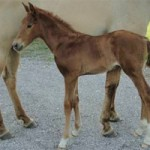Clones of star dressage sire Jazz born