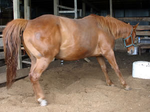 A horse affected by laminitis.