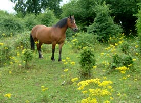 Ragwort causes liver damage in horses.