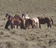 Wild horses in Wyoming.