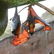 Un gran zorro volador (Pteropus vampyrus)