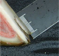 Affected hoof cross section.