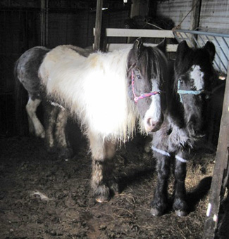 Some of the ponies found at the Kent farm.