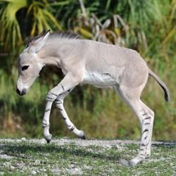 somali-wild-ass-18