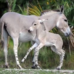 somali-wild-ass-24