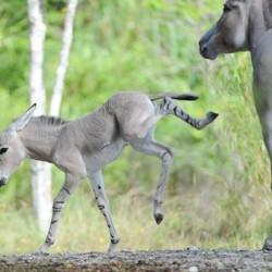 somali-wild-ass-26