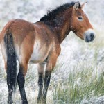 Przewalski's horse shows averting extinction is possible - expert