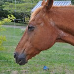 Tummy bug: study notes gut changes in older horses