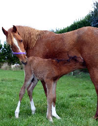 Genetic factors increase risk of foal pneumonia – study