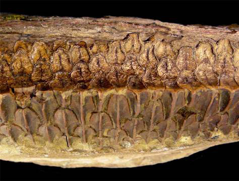 Huge plant-eating dinosaurs called hydrosaurids had complex teeth (a battery of teeth shown here) like horses, likely rivaling these and other mammals in their chomping abilities,