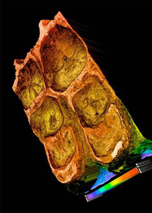 A laser surface scan and topography of the chewing (grinding) surface of a duck-billed dinosaur (Corythosaurus).