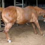 A horse suffering from laminitis.