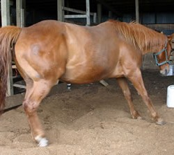 Push to develop test to identify horses at risk from laminitis