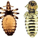 The two forms of lice common in New Zealand: (L-R) Haematopinus asini and Damalinia equi
