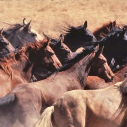 Bid to protect wild horses under US Endangered Species Act fails