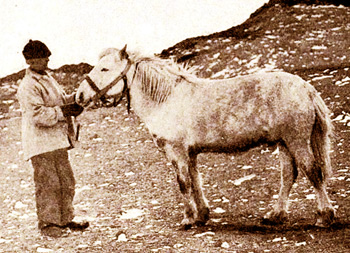 Shackleton's meat-eating Siberian horse, Socks, came closer to the South Pole than any other horse.