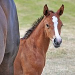 Do maiden mares produce smaller foals?