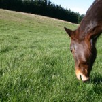 Study to explore equine gut microbes in fight against laminitis