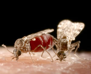 African Horse Sickness is spread by Culicoides species midges.