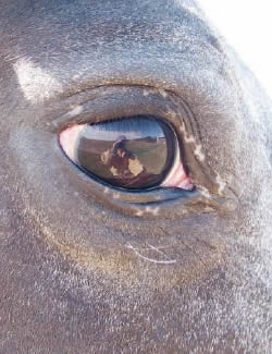 appaloosa-eye