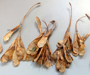 Box elder seeds.