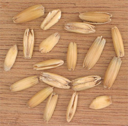 Oat grains in their husks.