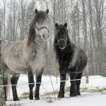Newfoundland ponies Wonder and Skipper.