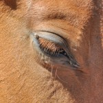 Europe still turning blind eye to US horse meat - welfare group