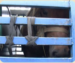 British charity charts murky live-export pony trade