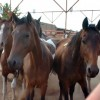 Horse slaughter trade a dubious bet – HSUS boss