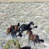 Judge issues temporary injunction to stop Nevada wild horse roundup