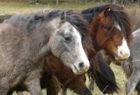 Carneddau wild ponies.