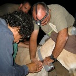The wild asses of the Negev are extremely wary of people, but Roni King (in t-shirt), the Israel Nature and Parks Authority's veterinarian, was able to get close enough to dart this male. On the left is Amos Bouskila, another of Templeton's Israeli collaborators.