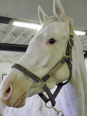 One of Patchen Wilkes farm's white mares, Precious Beauty.