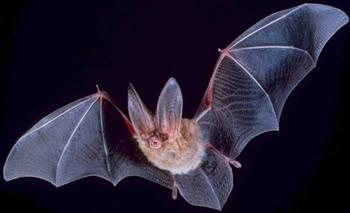 A microbat: Big eared townsend bat (Corynorhinus townsendii).
