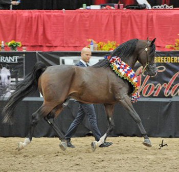 3.Supreme Campeón senior Stallion: * pogrom criado y propiedad de Janow Podlaski Stud Estado y el contrato de arrendamiento para David y Anne Terry Boggs y Jeff y Andrea Sloan