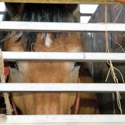 Long-haul slaughter trade reduced, but abuses continue
