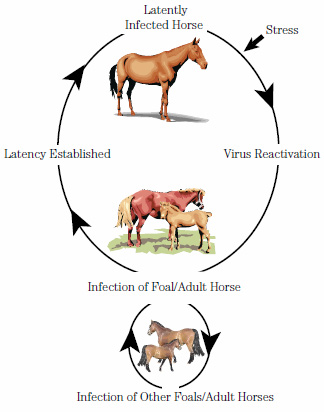 Equine Herpes Virus 1 The Essential Guide Horsetalk Co Nz
